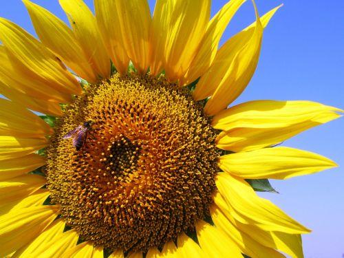 sunflower honeybee flower