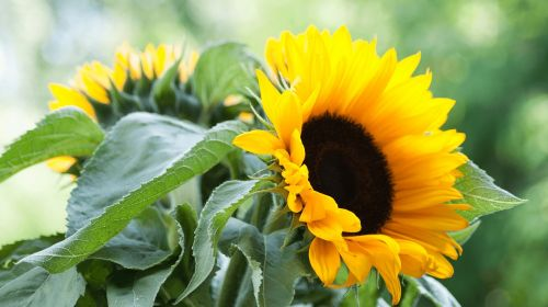 sunflower nature green