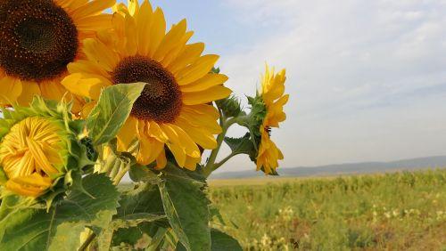 sunflower flower sun