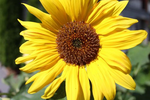 sunflower plant nature