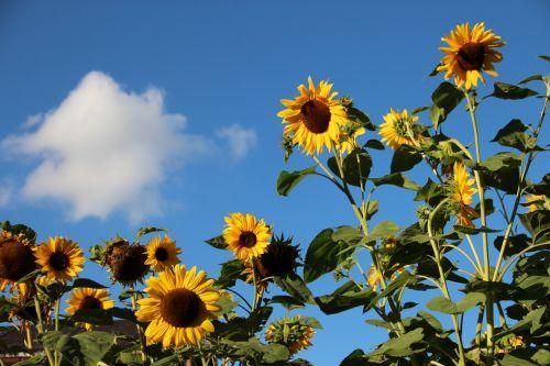 saulėgrąžos,gėlės,vasara,augalas,geltona,mėlynas,gamta,spalvinga,spalva,helianthus annuus,helianthus,kompozitai,asteraceae