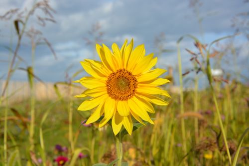 sunflower yellow flowers sun