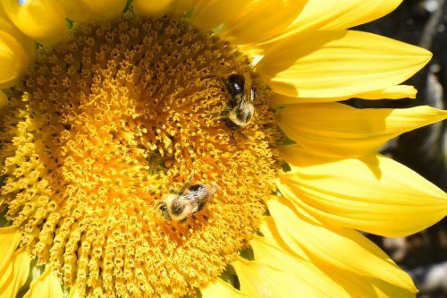 sunflower flower bees