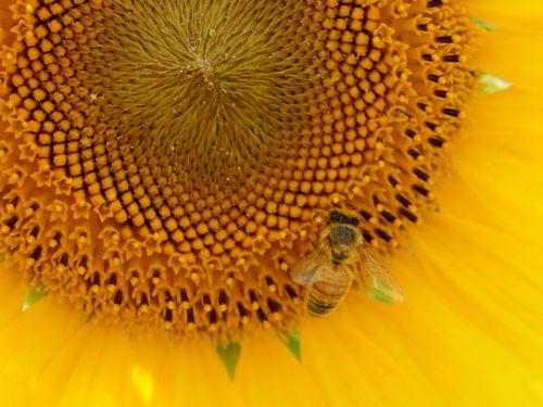 sunflower yellow honeybee