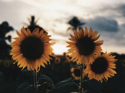sunflower flower yellow flower