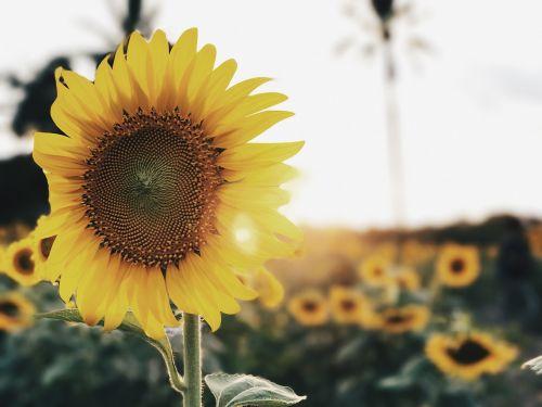 sunflower sunflowers flower