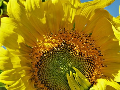 sunflower enormous yellow