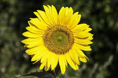 sunflower  flower  plant