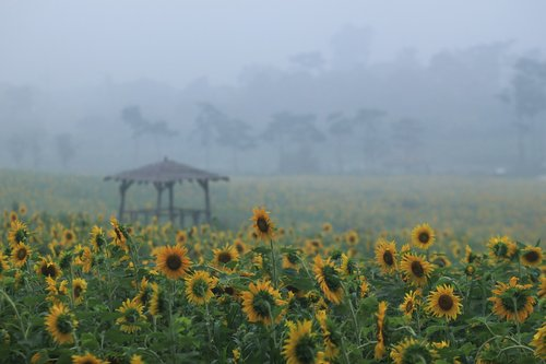 sunflower  sunflower fields  nature