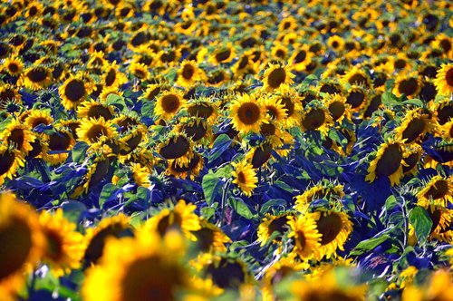 sunflower  sunflower field  yellow