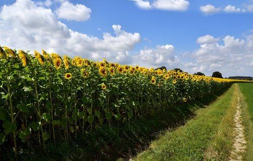 sunflower  sunflower field  nature