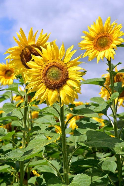 sunflower  upright  sunflower field