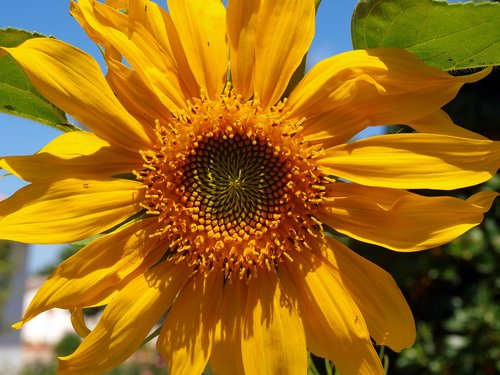 sunflower  wild flower  petals yellow