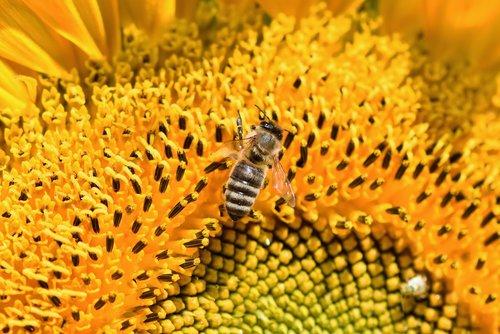 saulėgrąžų, bičių, medaus BITĖ, gėlė, žiedas, žydi, pabarstyti, žiedadulkės, vabzdys, žydi, augalų, geltona, nektaras