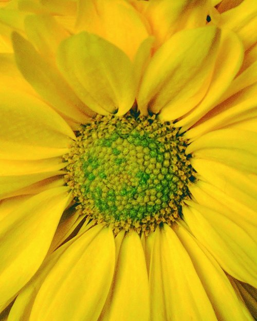 sunflower  ontario  summer