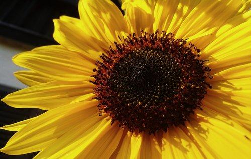 sunflower  summer  sun