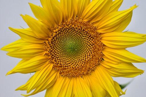 sunflower  yellow  growth