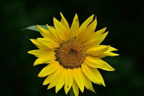 sunflower  yellow  inflorescence