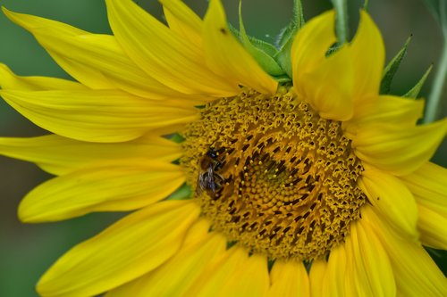 sunflower  pollination  bees