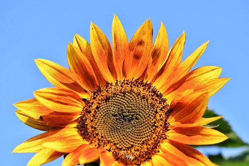 sunflower  flower  petals
