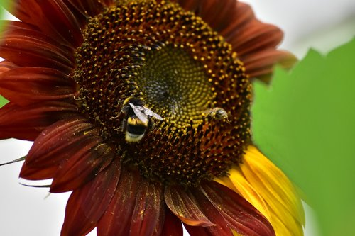 sunflower  pollination  pollen