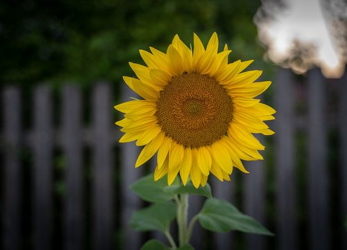 sunflower  flower  yellow green