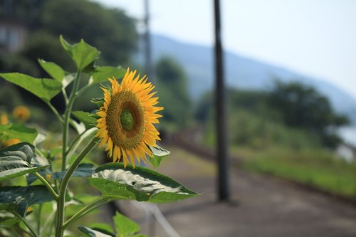 sunflower  flower  summer