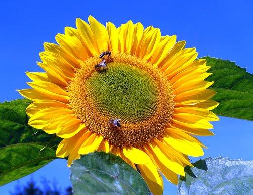 sunflower  bumblebees  flower