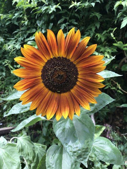 sunflower  flower  garden