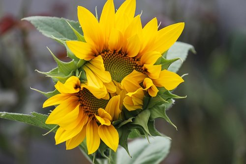 sunflower  wild  yellow