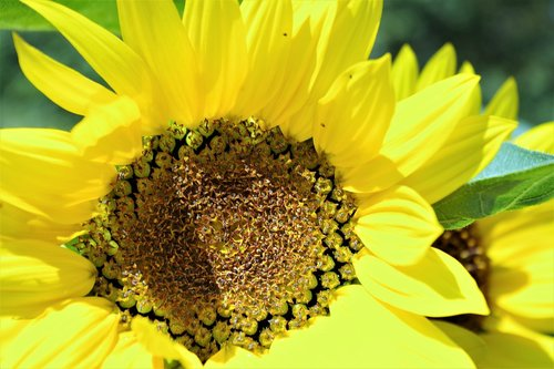sunflower  yellow  summer