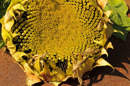 sunflower  food  autumn
