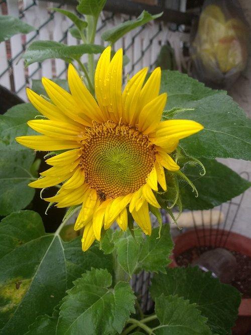 sunflower  garden  sprout