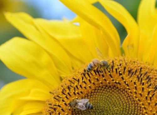 sunflower  wasps  yellow