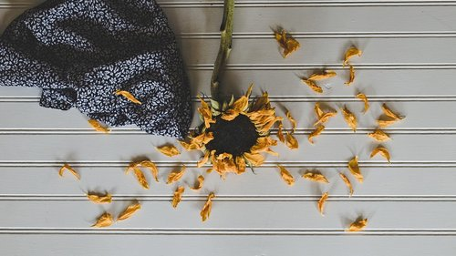 sunflower  nature  bloom