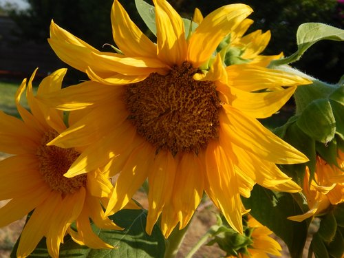 sunflower  floral  summer