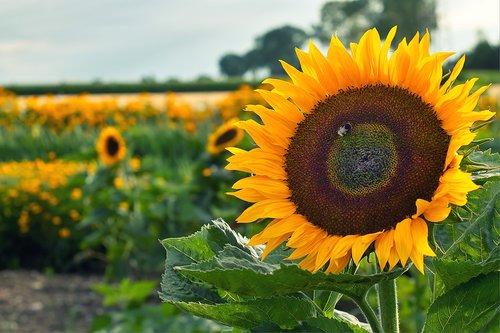 sunflower  field  hummel