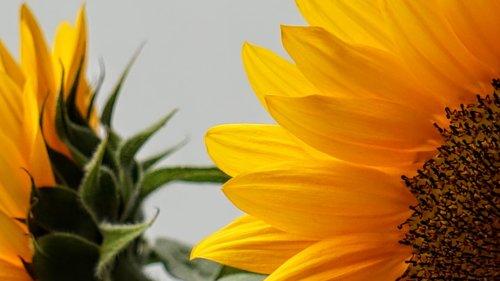 sunflower  nature  yellow