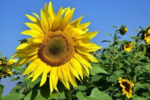 sunflower  field  yellow
