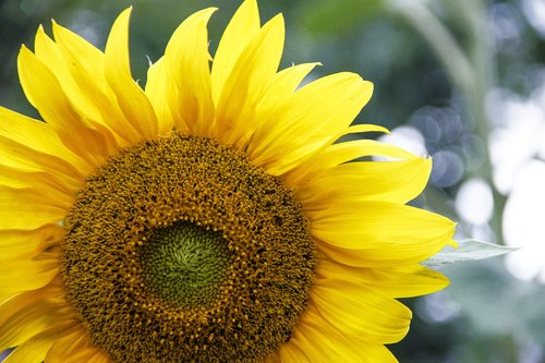 sunflower  sunflower seeds  flower