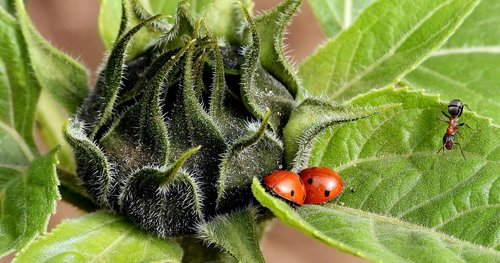 sunflower  ladybugs  ladybug