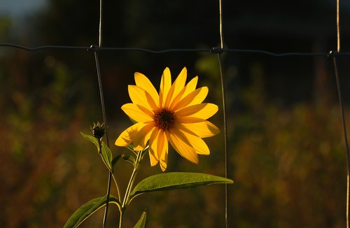 sunflower  jerusalem artichoke  flower