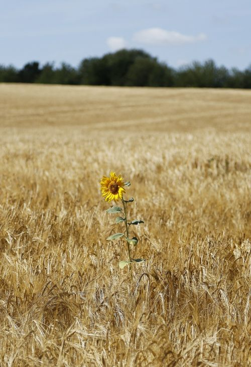 sunflower barley field