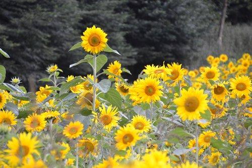sunflower  sunflower field  summer