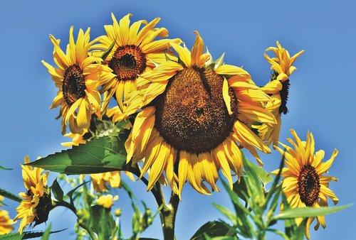 sunflower  flowers  bloom