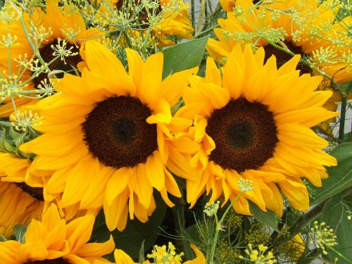 sunflower summer flowers yellow