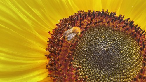 sunflower  bee  flower
