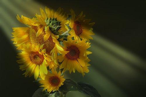 sunflower  light beam  golden