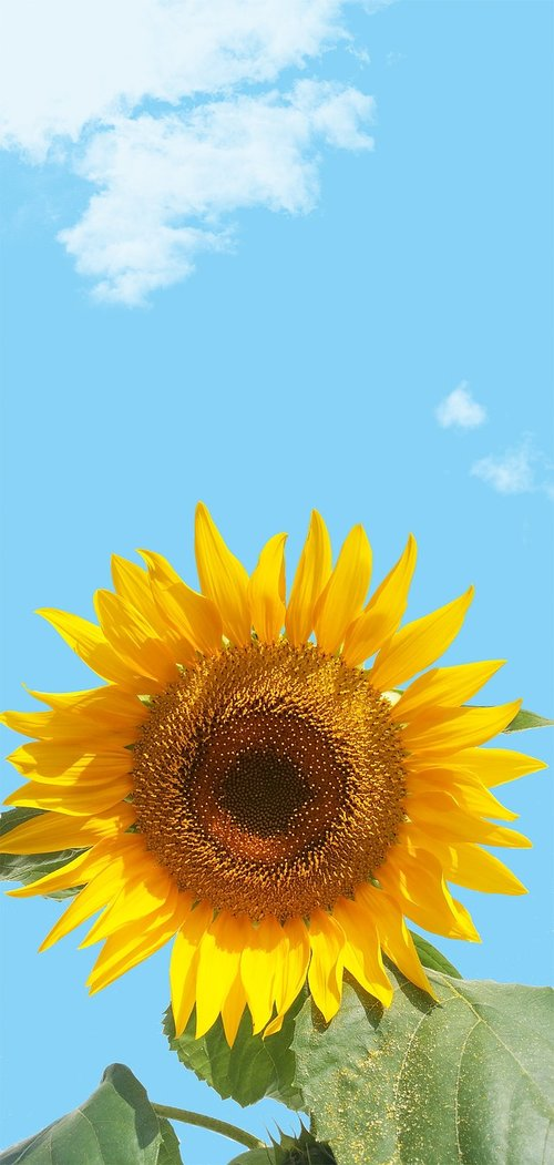 sunflower  sky  flower