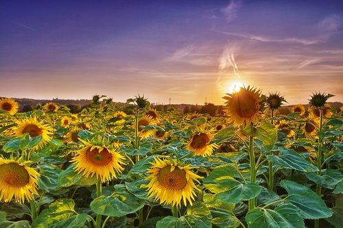 sunflower  abendstimmung  summer